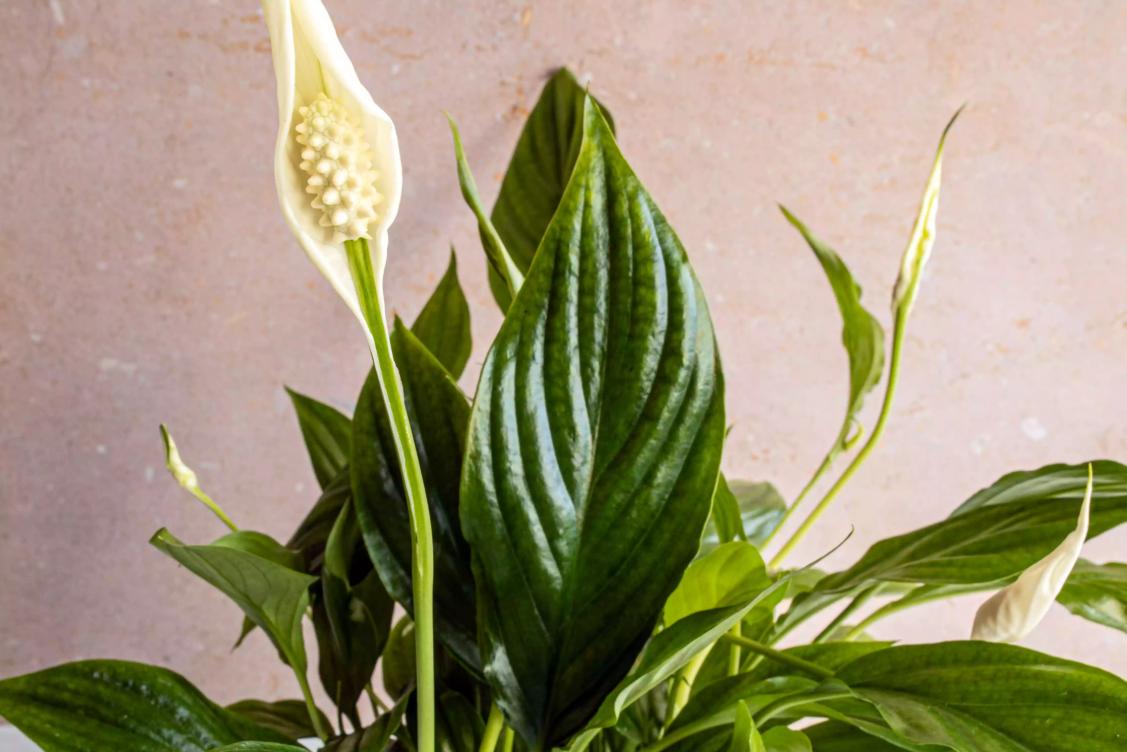 گل صلح (اسپاتی فیلوم)