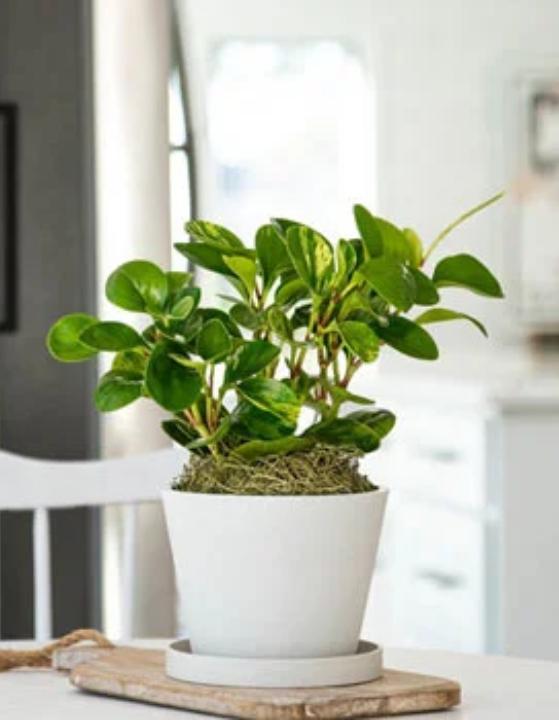 گیاه کائوچوی کوچک (پپرومیا آبتوسیفولیا)