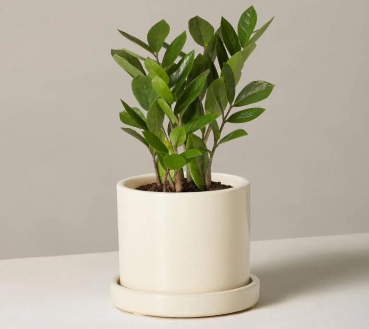 گیاه ZZ